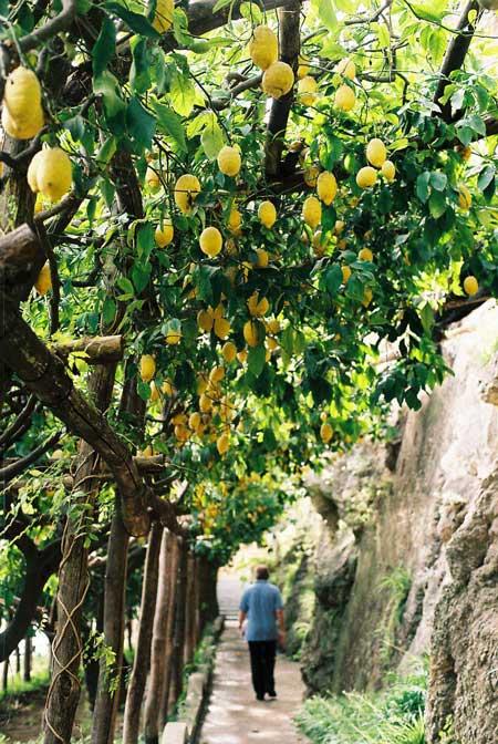 Back to the lemon trees...